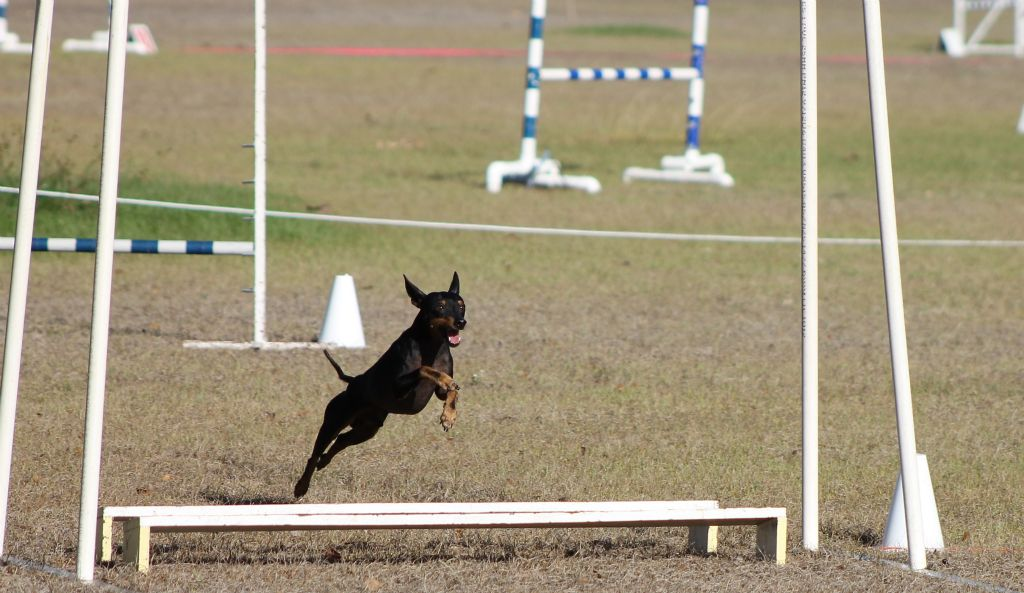 Soda the English Toy Terrier flies over the broadjump